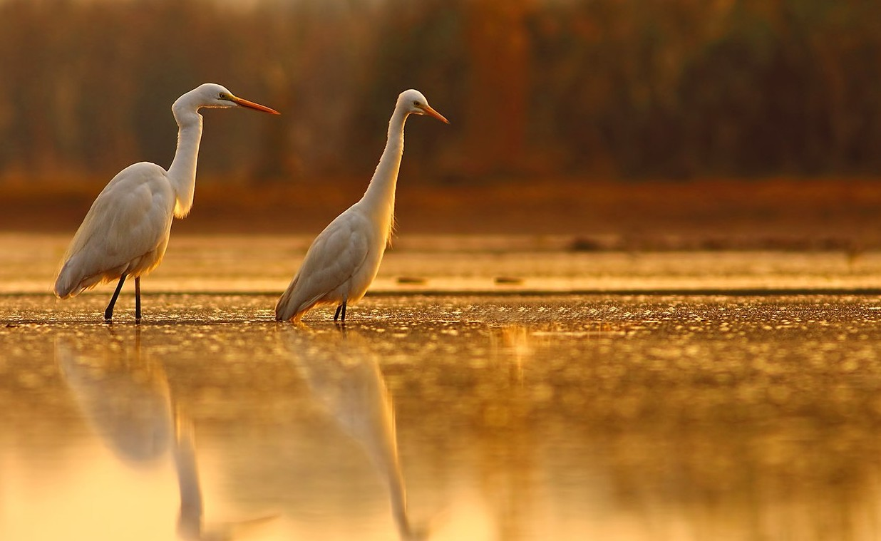Large birds on the water at sunset